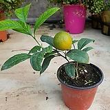 ♥오렌지 레몬나무 과실열매류|