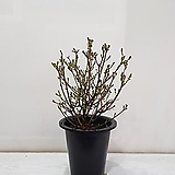 미스김라일락/공기정화식물/반려식물/온누리 꽃농원|