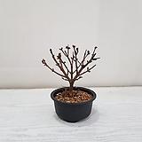 미스김라일락 분재/공기정화식물/반려식물/온누리 꽃농원|