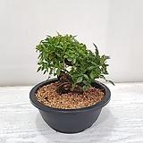 찔레나무 분재/공기정화식물/반려식물/온누리 꽃농원|