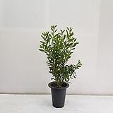 병솔/공기정화식물/반려식물/온누리 꽃농원|