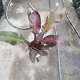 썬라이즈레드콩고 수입식물 공기정화식물 69|
