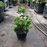 치자나무 중품 야생화 공기정화식물 꽃 초화 99|