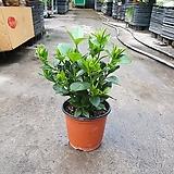 치자나무 소중품 야생화 공기정화식물 45|