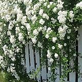 가시없는 사계장미 써머스노우 화분상품♥HT 장미♥화이트 로즈♥울타리 펜스 아치♥장미나무|