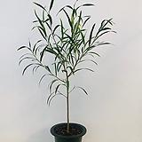 긴잎아카시아 1