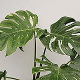 무늬몬스테라/공기정화식물