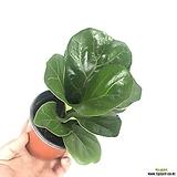 아레카 아레카야자 공기정화식물1위 실내공기정화식물 한빛농원