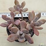 Pachyveria Pachyphytodies