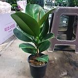 인도고무나무 소피아고무나무 중품 반려식물 79|Ficus elastica