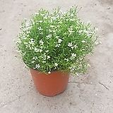 안개꽃 소품 공기정화식물 꽃  색상 랜덤발송 34|