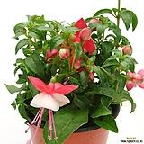 후쿠시아(꽃색랜덤발송)|