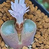 C ophthalmophyllum(옵탈모필름25립 )|