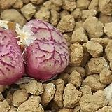 C.wittebergense ssp (위트버젠스)안수희 20립|Conophytum Wittebergense