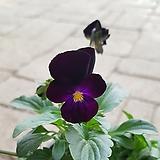 흑제비꽃|