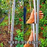 잭큐몬티 자작나무 포트묘 |