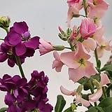 은은한 향기 오래가는 꽃 스토크 스톡