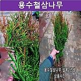 용수철삼나무 삽목2년생 묘목(5개묶음) 상록수|
