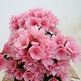 철쭉 연산홍 아젤리아 방울기리시마