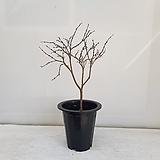 팝꽃나무/공기정화식물/반려식물/온누리 꽃농원|
