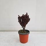 팔방삼나무/공기정화식물/반려식물/온누리 꽃농원|