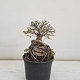 참느릅나무/공기정화식물/반려식물/온누리 꽃농원|