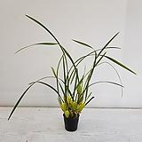 무늬막실라리아/공기정화식물/반려식물/온누리 꽃농원|