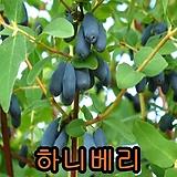 하니베리(신품종)삽2년포트묘1그루/블루베리/묘목/나무묘목