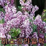 미스김라일락50cm 개화주1그루/꽃나무/묘목/조경수/라일락나무