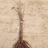 칼슘나무 1년생묘목|