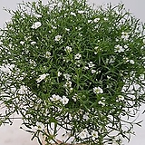 흰안개꽃(중품) 