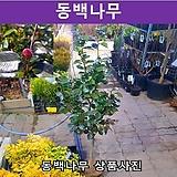 동백나무 키1.2m분묘