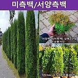 미측백/서양측백나무 키1.2m~1.5m|