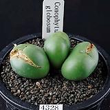 4328-Conophytum globosum   글로보섬3두  