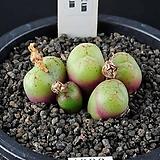 4330-Conophytum  Pallidum 파리덤5두 