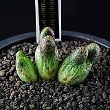 4344-C.marginatum ssp. karamoepense  카라모에펜스3두 
