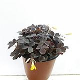 노랑꽃이 예쁜~흑사랑초 (3포트한묶음)|