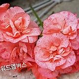 사진착오|Geranium/Pelargonium
