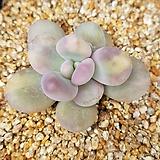 오비포럼금|Pachyphytum oviferum
