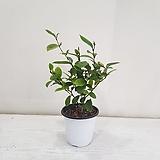 함수화/공기정화식물/반려식물/온누리 꽃농원|