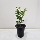 한라봉/공기정화식물/반려식물/온누리 꽃농원|