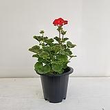 제라늄/공기정화식물/반려식물/온누리 꽃농원|Geranium/Pelargonium