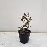 에스 백자단/공기정화식물/반려식물/온누리 꽃농원|