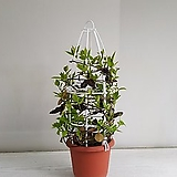 백화등/공기정화식물/반려식물/온누리 꽃농원|