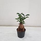 미니인삼펜다/공기정화식물/반려식물/온누리 꽃농원|