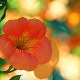 능소화  오렌지 노지월동가능|