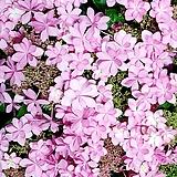 이쁘다 이쁘다 엄청 이쁘다 댄스파티수국 별수국|Hydrangea macrophylla