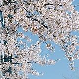 왕벚꽃나무 외목수형 화분상품♥왕벚 벚꽃 벗꽃 벚나무 벗나무|