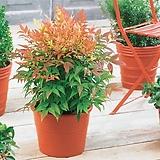 사계절 볼거리를 제공하는 남천♥키낮은 화분상품♥남천나무|