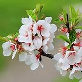 앵두나무 외목수형 화분상품 결실주♥ 붉은 열매 앵두|